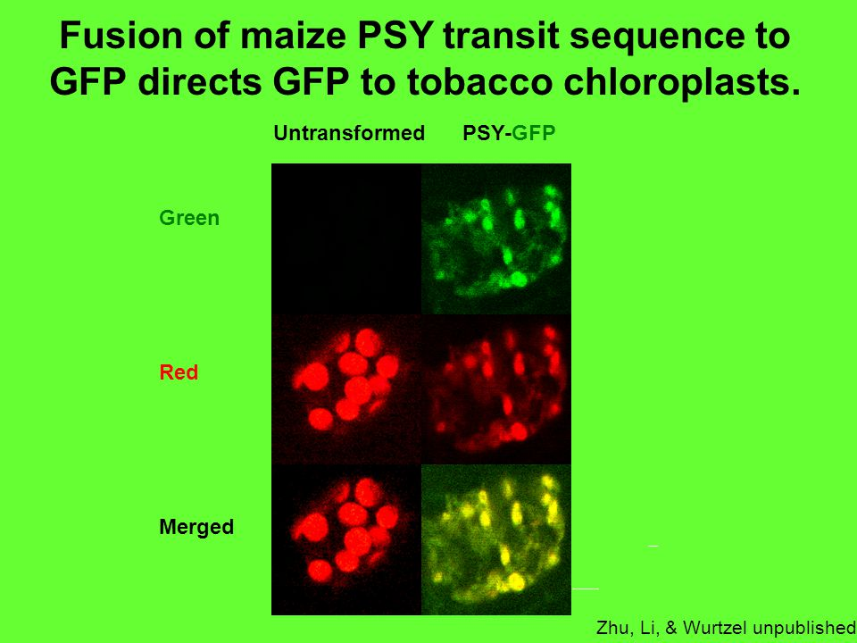 Fusion of maize PSY transit sequence to GFP directs GFP to tobacco chloroplasts.