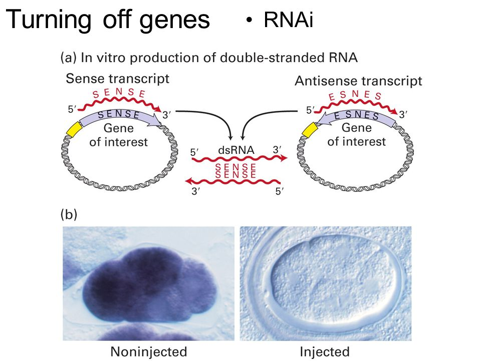 Turning off genes RNAi