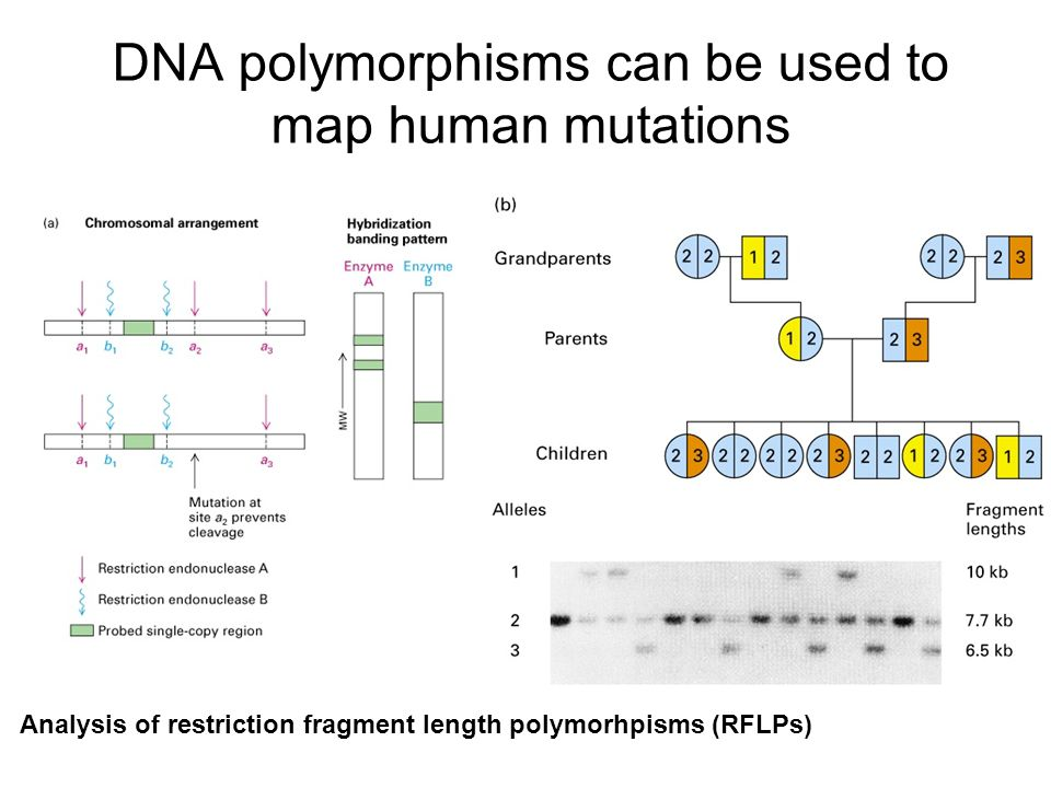 DNA polymorphisms can be used to map human mutations