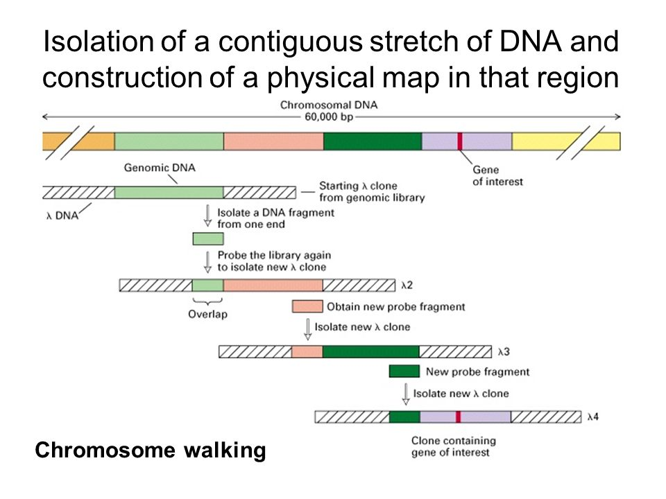 Isolation of a contiguous stretch of DNA and construction of a physical map in that region