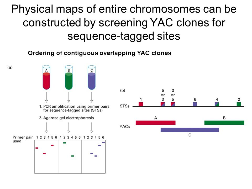 Physical maps of entire chromosomes can be constructed by screening YAC clones for sequence-tagged sites