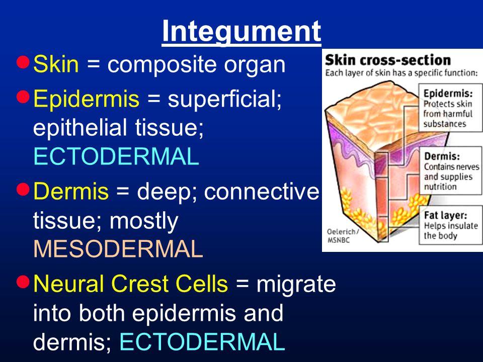 Integument Skin = composite organ