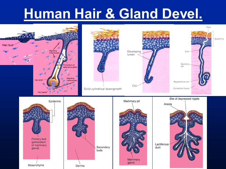 Human Hair & Gland Devel.