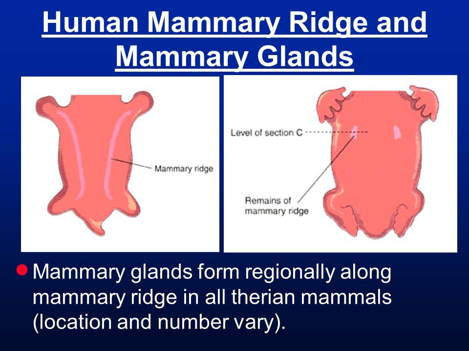 Human Mammary Ridge and Mammary Glands