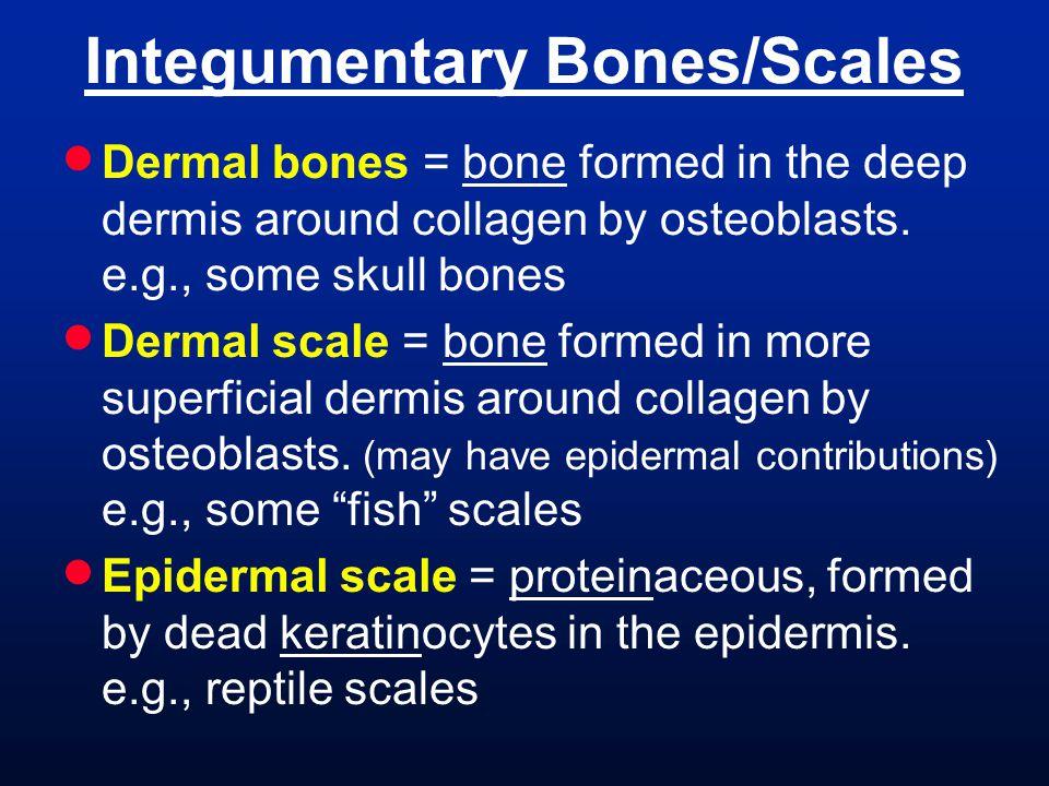 Integumentary Bones/Scales