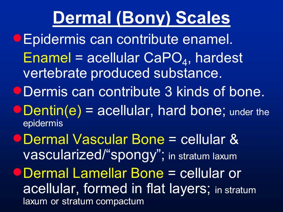 Dermal (Bony) Scales Epidermis can contribute enamel.