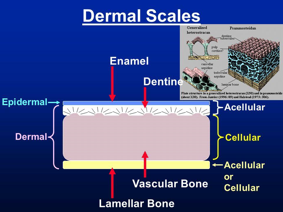 Dermal Scales Enamel Dentine Vascular Bone Lamellar Bone Epidermal