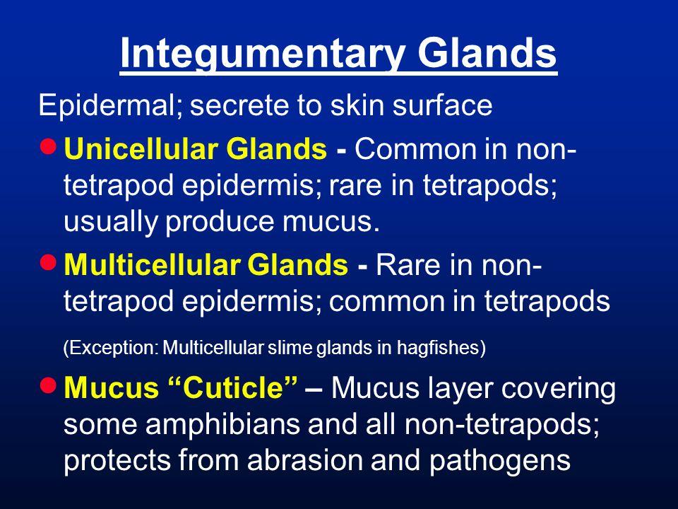 Integumentary Glands Epidermal; secrete to skin surface