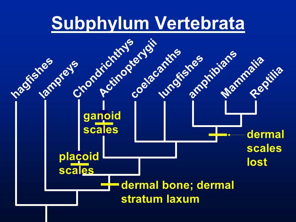 Subphylum Vertebrata Chondrichthys Actinopterygii coelacanths