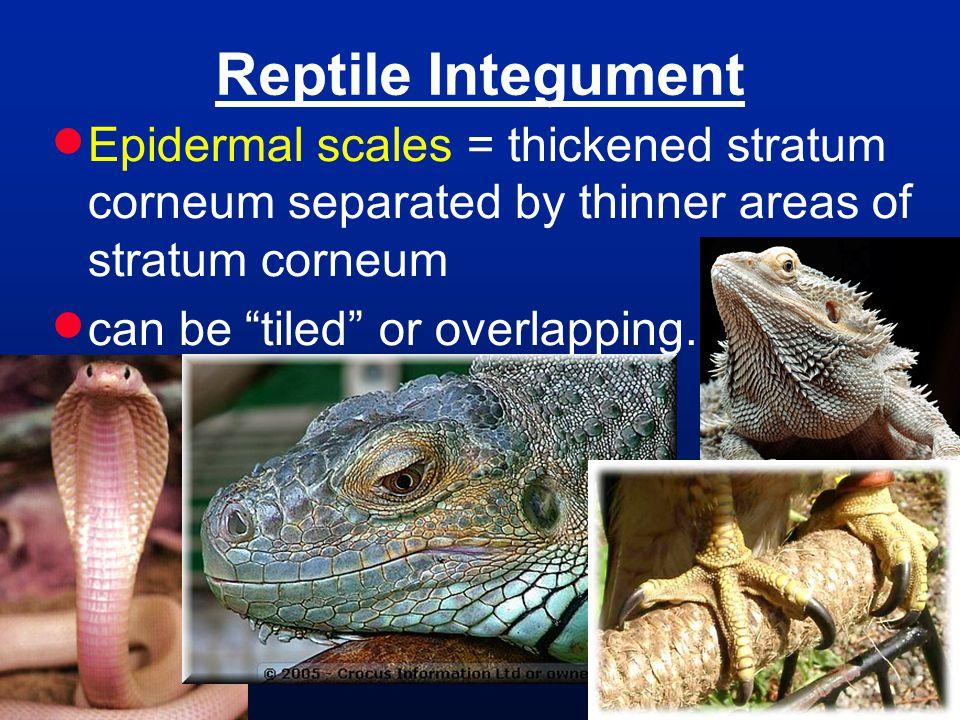 Reptile Integument Epidermal scales = thickened stratum corneum separated by thinner areas of stratum corneum.