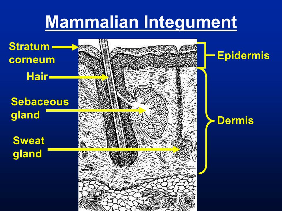 Mammalian Integument Stratum corneum Epidermis Hair Sebaceous gland