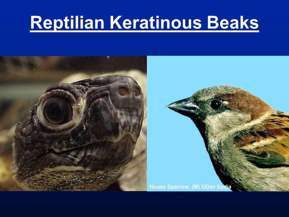 Reptilian Keratinous Beaks