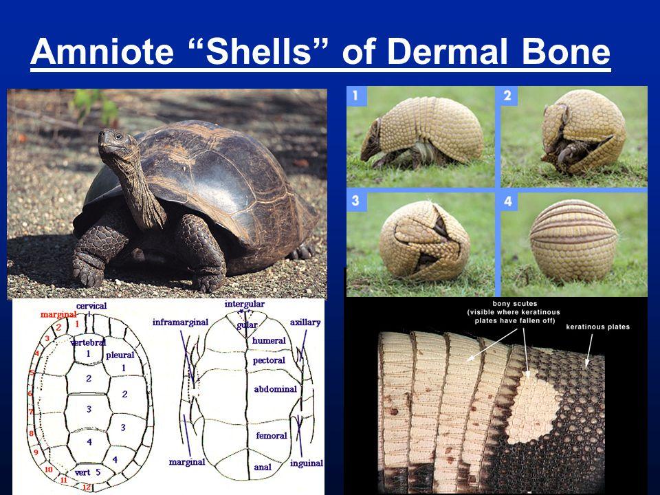 Amniote Shells of Dermal Bone
