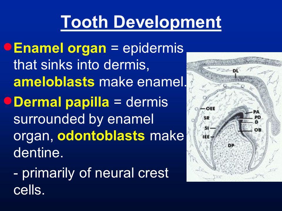 Tooth Development Enamel organ = epidermis that sinks into dermis, ameloblasts make enamel.
