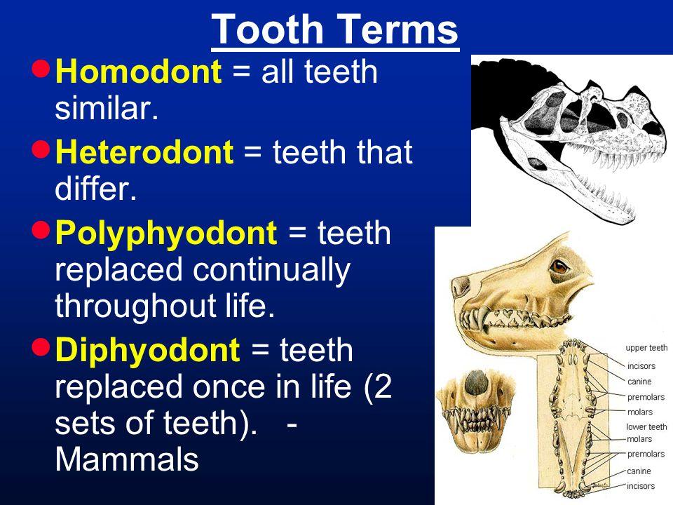 Tooth Terms Homodont = all teeth similar.
