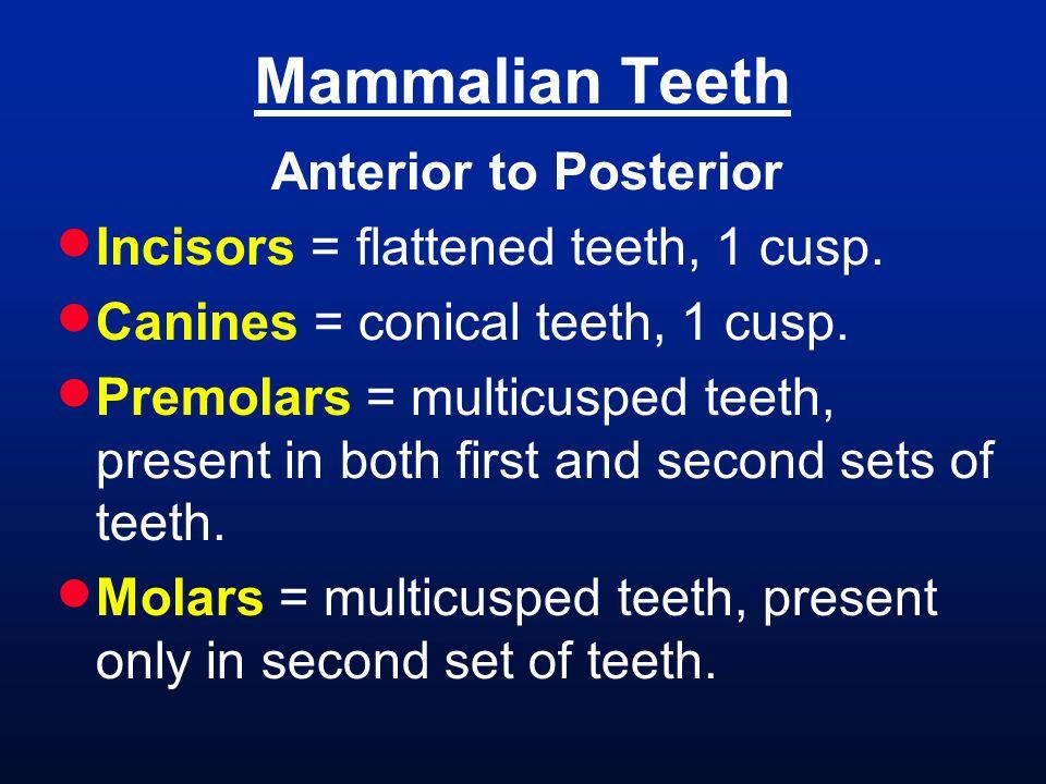 Mammalian Teeth Anterior to Posterior