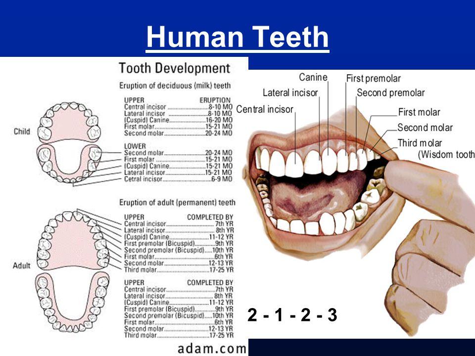Human Teeth 2 - 1 - 2 - 3