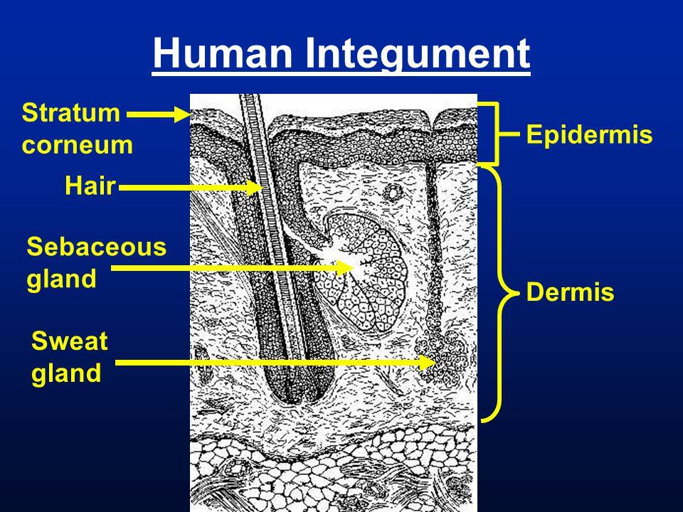 Human Integument Stratum corneum Epidermis Hair Sebaceous gland Dermis