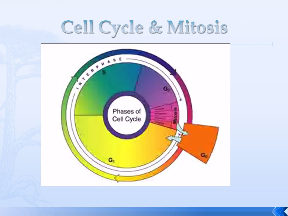 Cell Cycle & Mitosis
