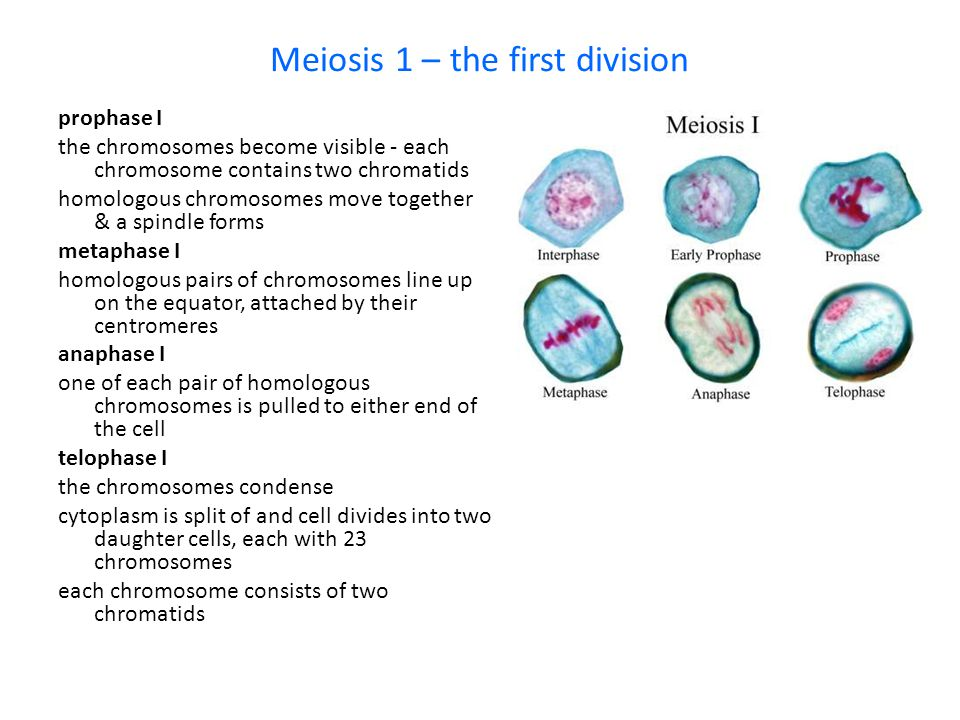 Meiosis 1 – the first division