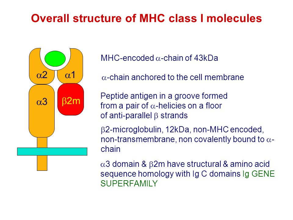 Overall structure of MHC class I molecules