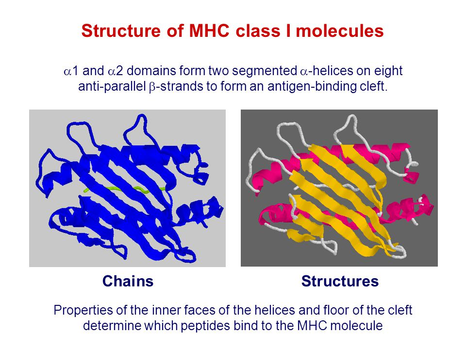 Structure of MHC class I molecules