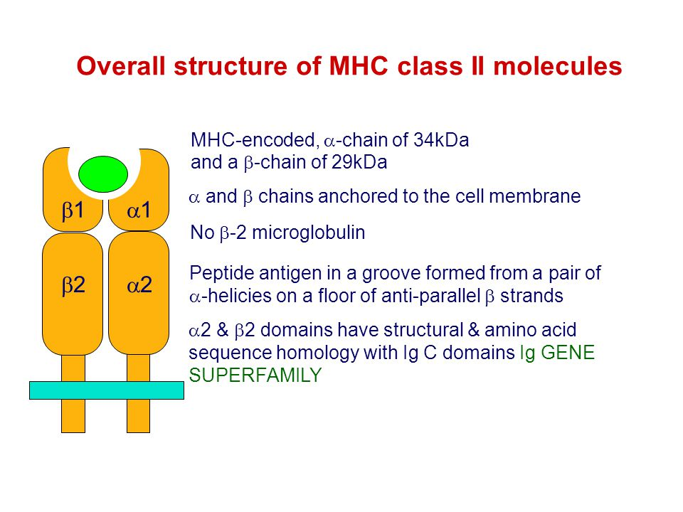 Overall structure of MHC class II molecules
