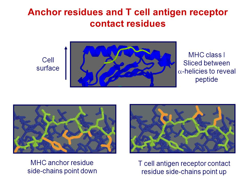 Anchor residues and T cell antigen receptor