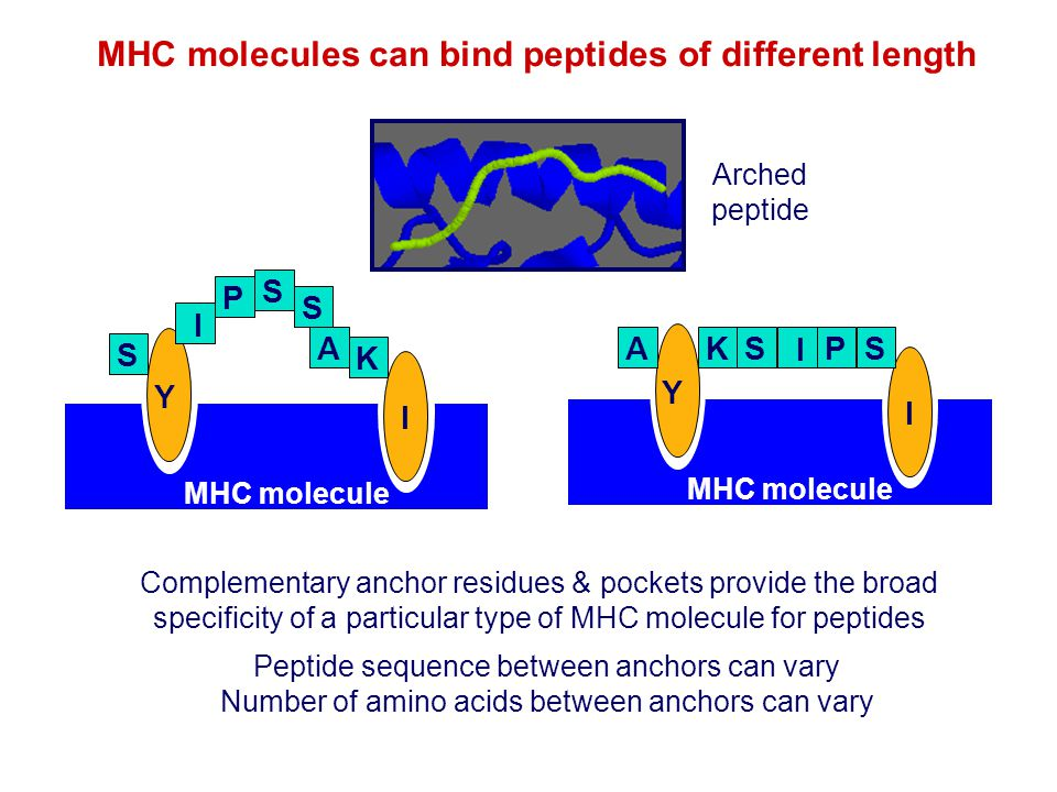 MHC molecules can bind peptides of different length