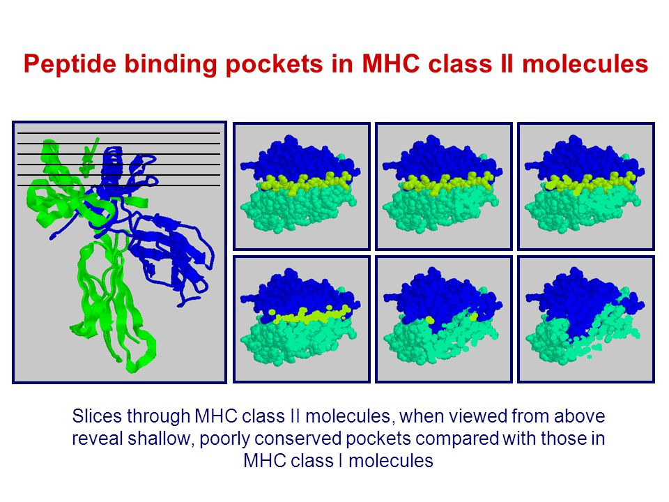 Peptide binding pockets in MHC class II molecules
