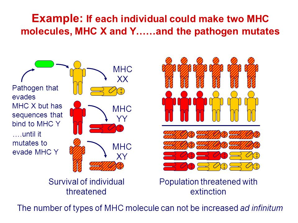 Example: If each individual could make two MHC molecules, MHC X and Y……and the pathogen mutates