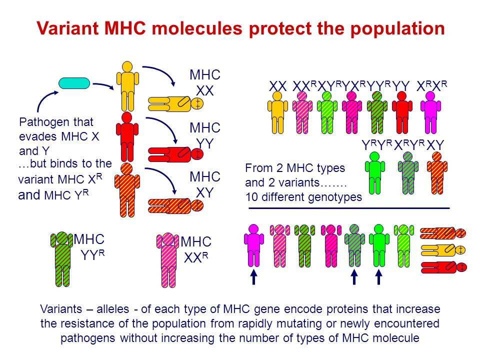 Variant MHC molecules protect the population