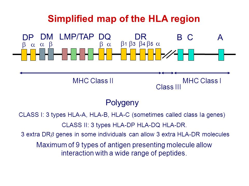 Simplified map of the HLA region