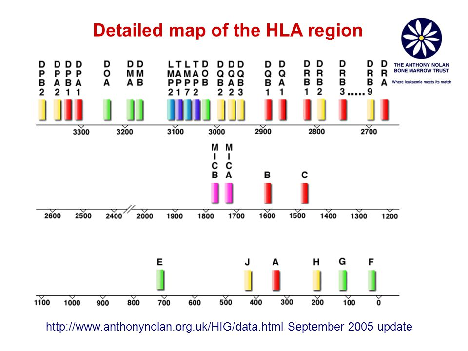 Detailed map of the HLA region