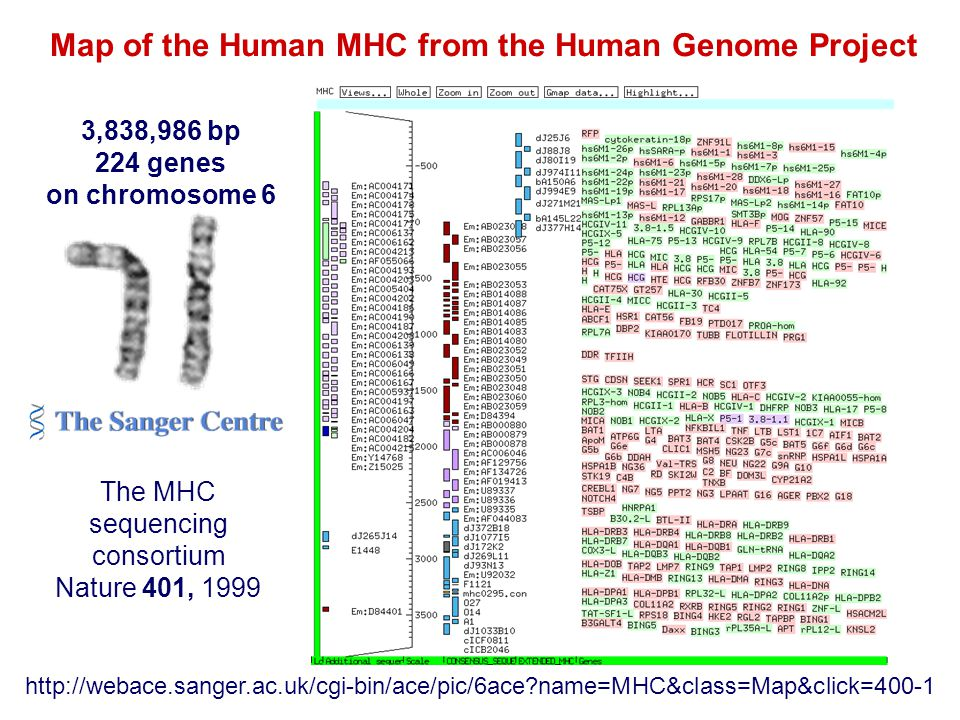 Map of the Human MHC from the Human Genome Project