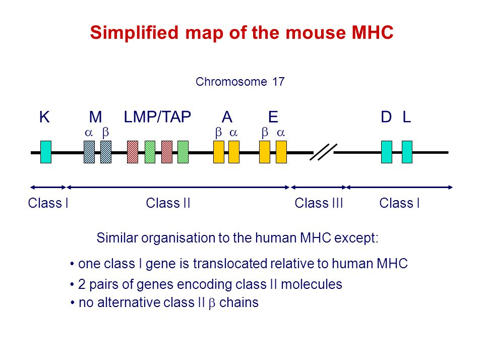 Simplified map of the mouse MHC
