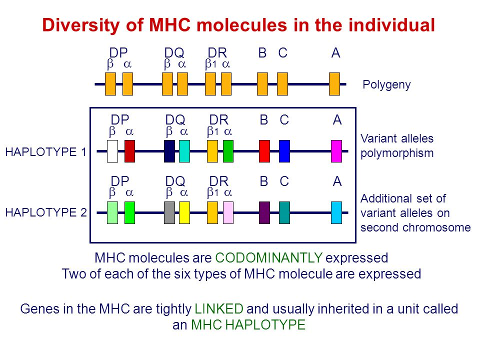 Diversity of MHC molecules in the individual