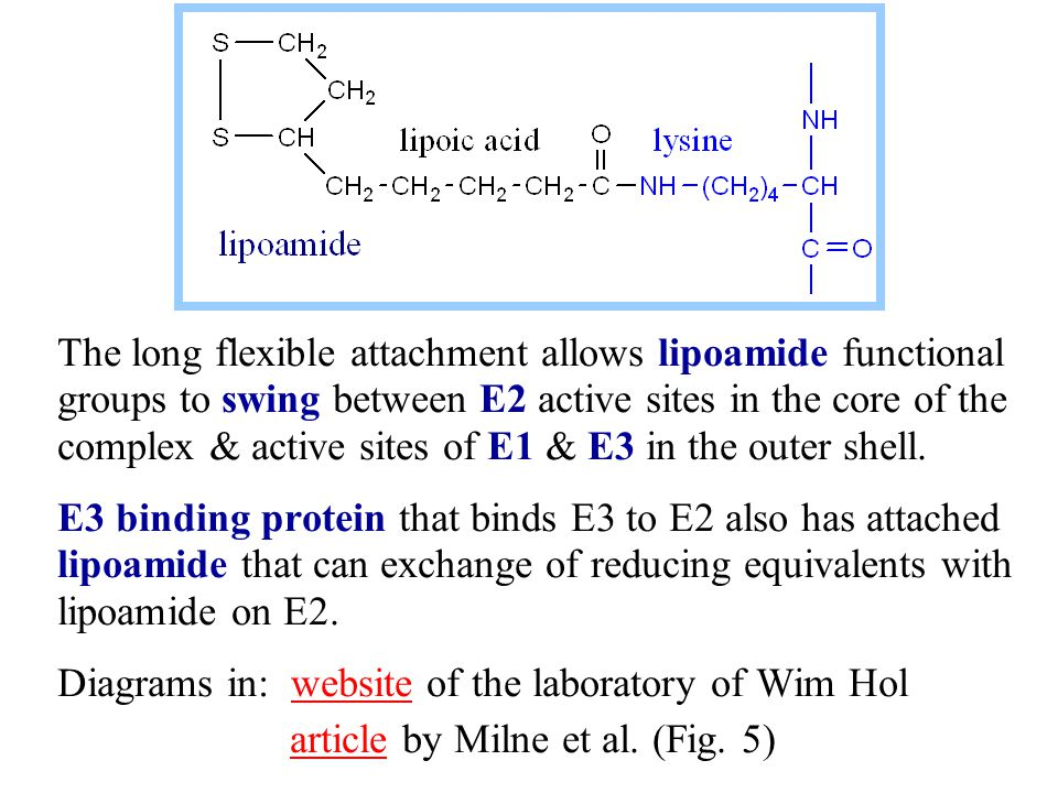 The long flexible attachment allows lipoamide functional groups to swing between E2 active sites in the core of the complex & active sites of E1 & E3 in the outer shell.