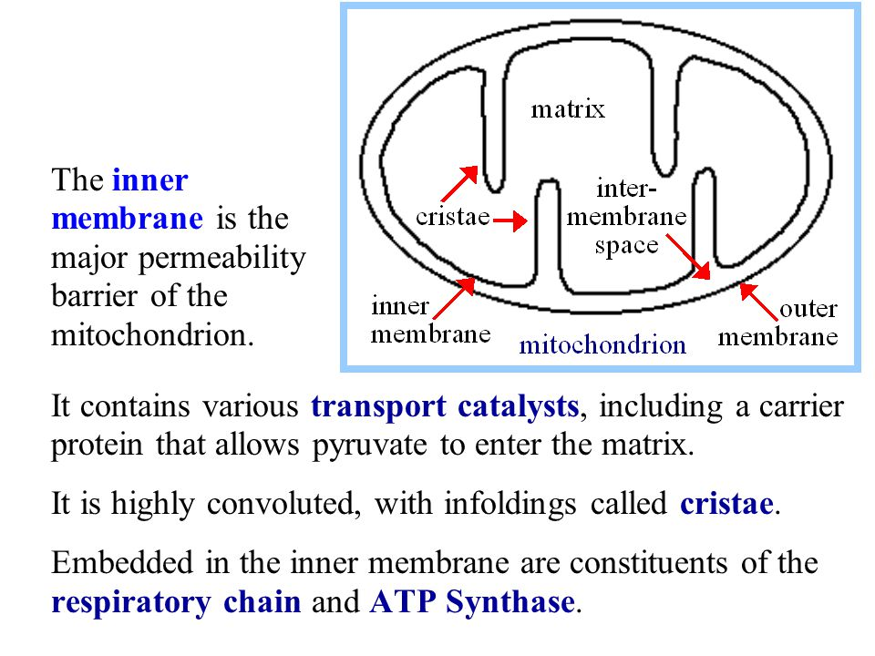 The inner membrane is the major permeability barrier of the mitochondrion.