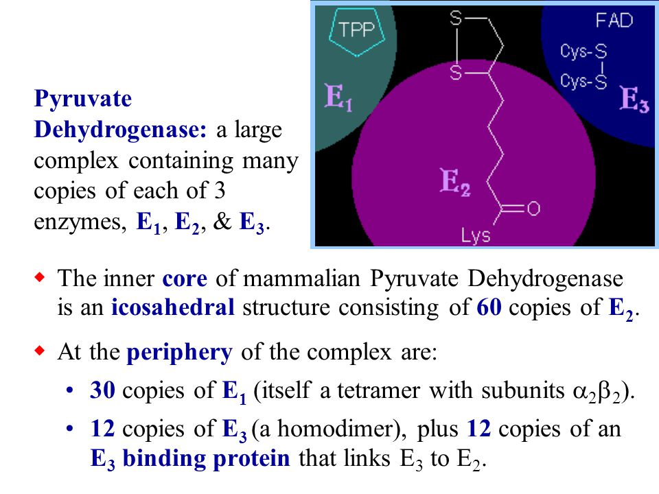 Pyruvate Dehydrogenase: a large complex containing many copies of each of 3 enzymes, E1, E2, & E3.