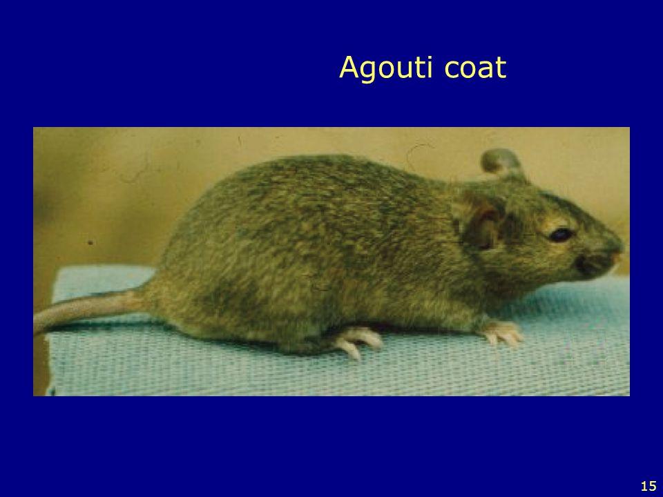 Agouti coat