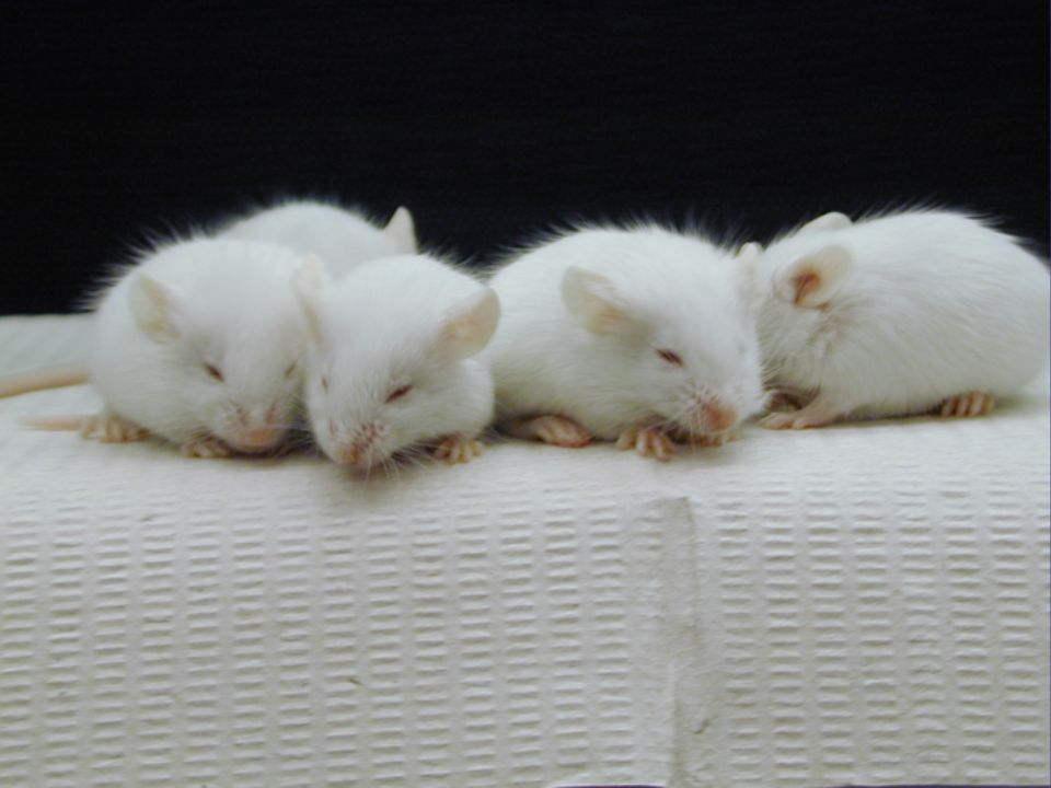 Inbred mice