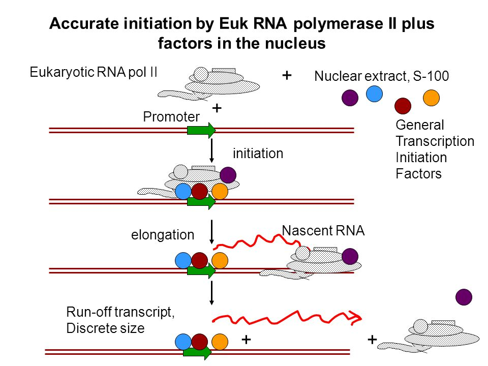 Accurate initiation by Euk RNA polymerase II plus factors in the nucleus