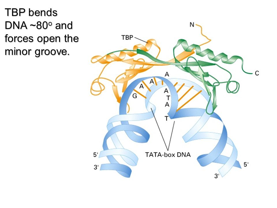 TBP bends DNA ~80o and forces open the minor groove.