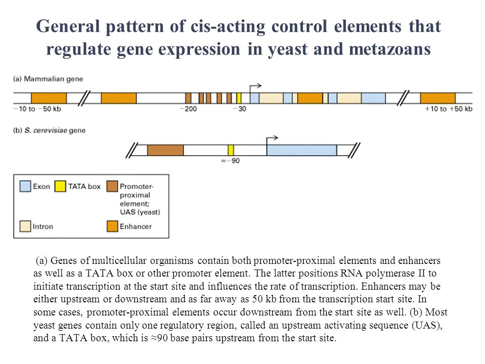 General pattern of cis-acting control elements that regulate gene expression in yeast and metazoans