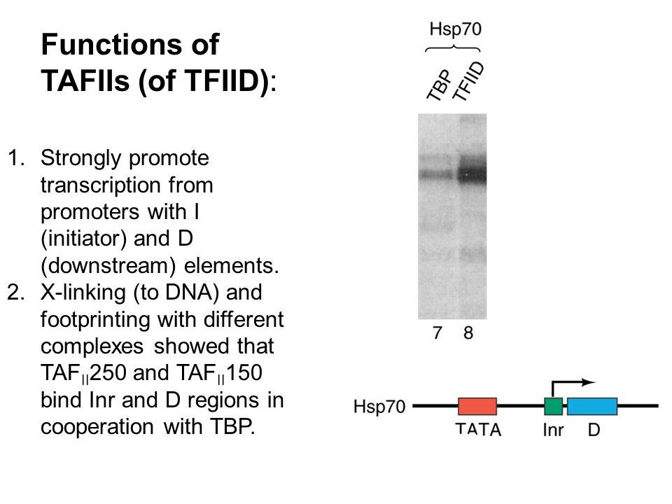 Functions of TAFIIs (of TFIID):
