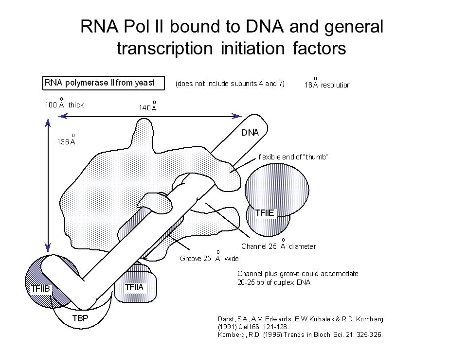RNA Pol II bound to DNA and general transcription initiation factors