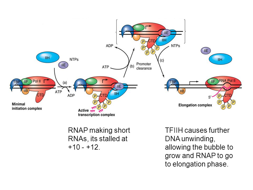 RNAP making short RNAs, its stalled at +10 - +12.