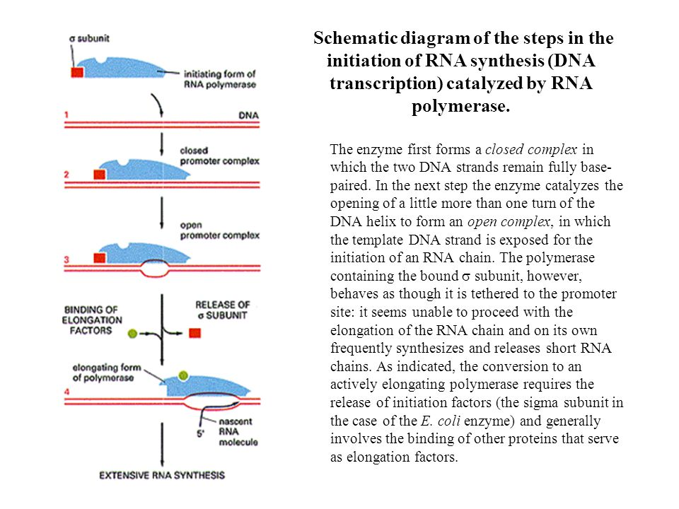 Schematic diagram of the steps in the initiation of RNA synthesis (DNA transcription) catalyzed by RNA polymerase.