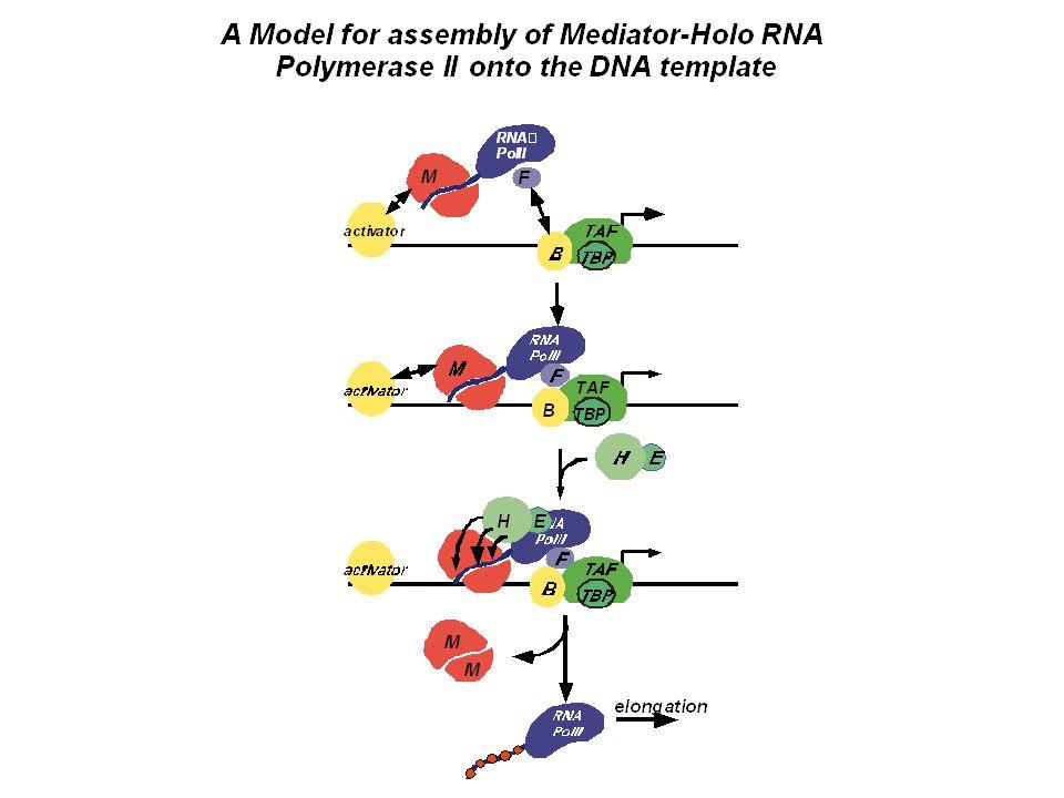 Core polymerase + Mediator = Holoenzyme